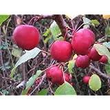 5 Gallon Size, CRABAPPLE Callaway- Large red Fruit,Excellent Disease Resistance