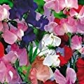"Sweet Pea Heirloom ""Old Spice"" (Lathyrus Odoratus}Old Fashioned Mix of Bright Flowers, Heat Tolerant Very Fragrant Old Fashioned Trellis Variety. The Best Sweet Pea for Warm Climates Approx 50 Seeds"