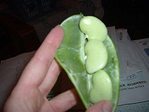 GEOPONICS 100 -:. Lila Glanz Hybrid Eggplant- eine populartype Aubergine variy !!