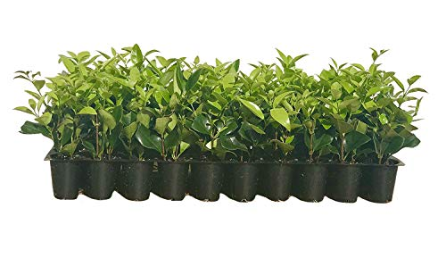 Ligustrum Waxleaf Privet Qty 15 Live Plants Evergreen Privacy Hedge