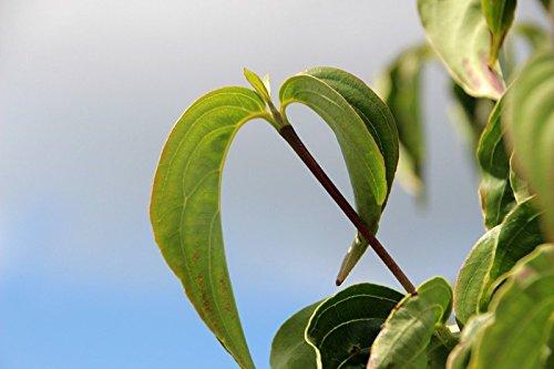 Cornus florida (Amerikanischer Blumen- Hartriegel) 80-100cm / 10-Container (Laubgehölze)