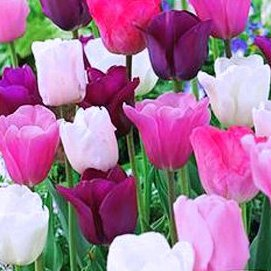 Purple Rain Mix Tulip 50 Bulbs - Lush Violet Hues & White - 12/+ cm Bulbs by Netherland Bulb