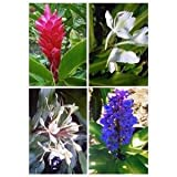4 Mixed Hawaiian Ginger Plant Roots (Red, Blue, White & Yellow)----Comes from a pest-free certified Hawaiian nursery