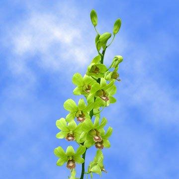 GlobalRose 20 Burana Jade Dendrobium Orchids- Beautiful Light Green Fresh (Jade Orchid Flower)