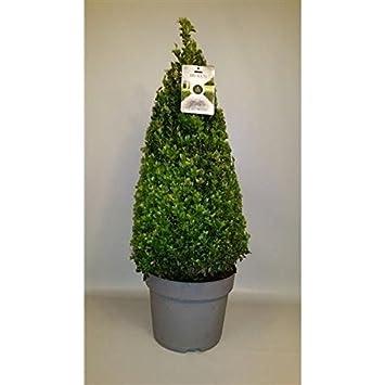 Buchsbaum Pyramide Kegel 90 cm Buxus sempervirens