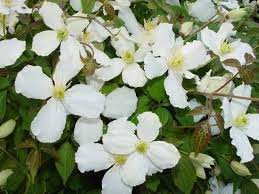 Clematis Montana Grandiflora Scented White Flowers Spring To Early