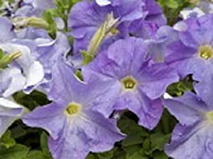 50 Pelleted Seeds Aladdin Sky Blue Petunia Seeds