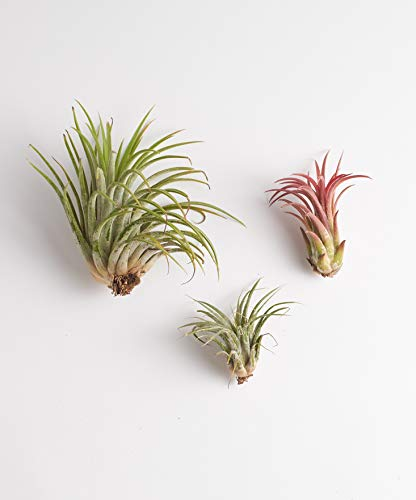Shop Succulents | Ionantha Air Collection of Live Air Succulent Plants, Hand Selected Variety Pack of Air Plants | Collection of 3