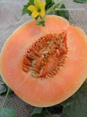 Honey Dew Orange Flesh Melon 1 g ~35 seeds
