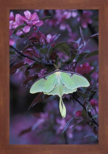 USA, Pennsylvania Luna Moth on crabapple Tree by Nancy Rotenberg - 23