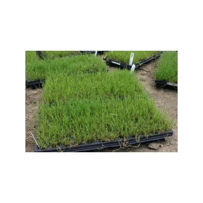 Innovation Zoysia Grass : Garden & Outdoor