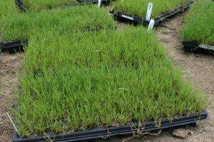 Innovation Zoysia Grass