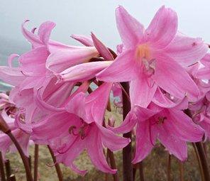 Amazon 3 pink belladonna lily naked lady amaryllis bulbs 3 pink belladonna lily naked lady amaryllis bulbs rootsrhizomes plants mightylinksfo