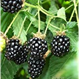 9GreenBox 25 Pre-Stratified Jumbo Thornless Blackberry Seeds