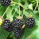 25 Pre-Stratified Jumbo Thornless Blackberry Seeds