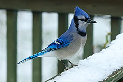 Poster Foundry Bluejay Perching on Snow Covered Railing Photo Art Print by ProFrames
