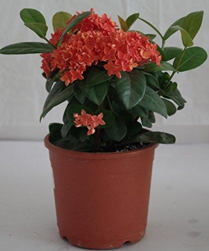 Ojorey Live Ixora Plant with pot