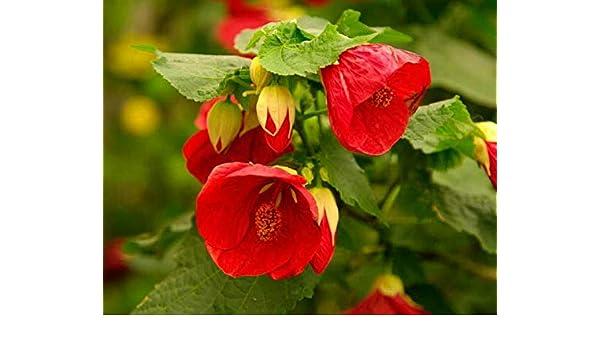 Amazoncom Red Flowering Maple Aka Abutilon Red Live Plant