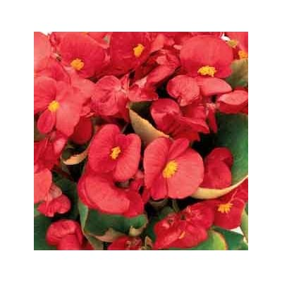30+ Begonia Ambassador Scarlet Red Flower Seeds / Drought Tolerant, Shade Loving Annual : Flowering Plants : Garden & Outdoor