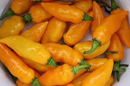 Datil Pepper Seeds, St. Augustine Minorcan Pepper, Capsicum.Super HOT Organically Grown, Direct from US Grower. (24+ Seeds) (Direct Peppers Seeds)