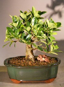 Green Island Ficus Bonsai Tree - Medium (ficus -