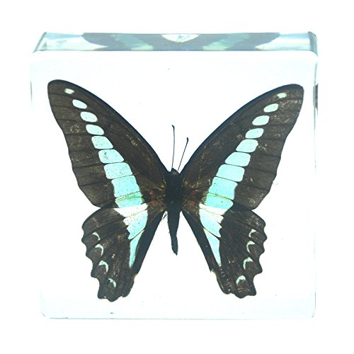 Paperweight Bug - Common Blue Bottle Butterfly Paperweight Insect Bug Collection Specimen Taxidermy(3x3x1