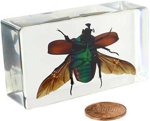 (Green Rose Chafer Beetle - Open Wings Specimen)