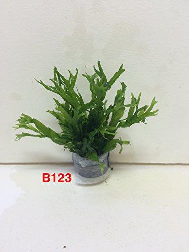 Exotic Live Aquatic Plant For Fresh Water Aquarium Microsorium windelov B123 By Jayco **BUY 2 GET 1 FREE