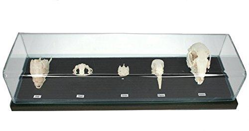 (C & A Scientific - Premiere 51020 Real Skull Comparison)