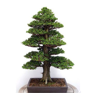 20Pcs Japanese Cedar Semillas Bonsai Seeds Rare Tree Seeds for Home Garden by Aroundstore