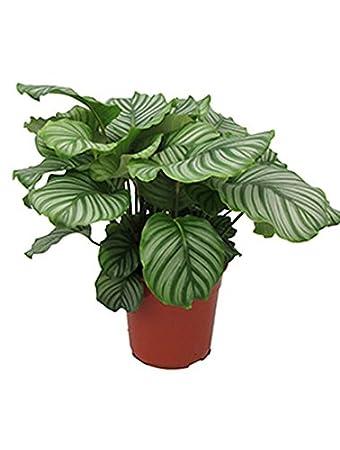 Pfeilwurz Beliebte Zimmerpflanze Fur Halbschatten Calathea Orbifolia