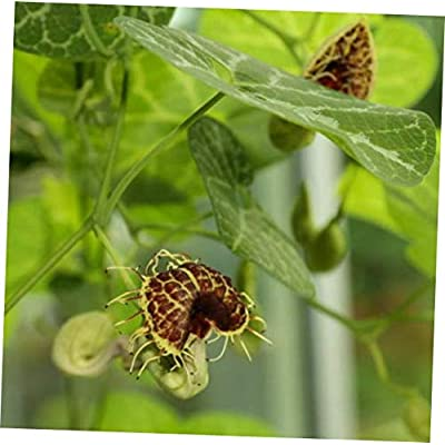 CJI 5 Seeds Aristolochia fimbriata White VEINED DUTCHMANS Pipe Vine - RK37 : Garden & Outdoor