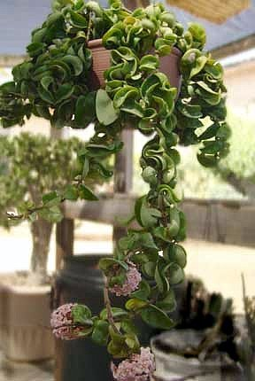 Amazoncom Hindu Indian Rope Plant Hoya Exotic Yet Easy 3
