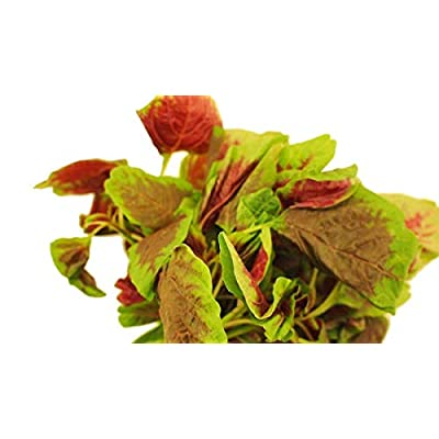Red Amaranth Seeds - Rich in protein, iron and vitamins! More calcium than milk!(25 - Seeds) : Garden & Outdoor