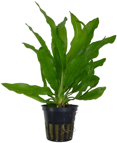 Image of AquariumPlantsFactory - Ruffled Amazon Sword Potted (Echinodorus Martii Major) - Freshwater Live Aquarium Plants