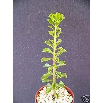 """Toyensnow - Pereskia portulacifolia Rare Cacti Plant Natural Bonsai Caudex Cactus Aloe (4"""" Pot) : Garden & Outdoor"""