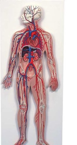3B社 血管系の模型 血管系、1/2倍大モデル (g30)   B003Z2TMU4