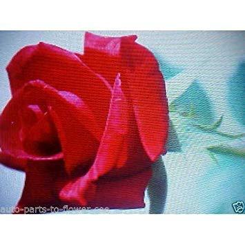 32 Pound cluster Lady Semi 1 Catchfly 103 Di Fiori Pink Fash 125 qRfEaxtx