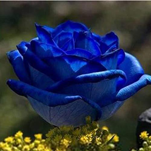 Whiie891203 Garden Seeds,100Pcs Fresh Rare Rose Seeds Flower Plant Home Garden Roof Bonsai Balcony Decor – Blue Rose Seeds