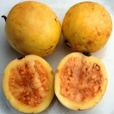3 Fruit Sweet Psidium Guajava Orange Flesh Guava Fruit Tree Small Potd Plant by MANGO (Image #3)