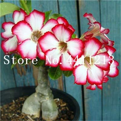 Bonsai 1 PCs Genuine Desert Rose Bonsai 1 pcs Adenium Obesum Flower Bonsai Plant Air Purification Home Garden Potted Flower Hot Sale by SeedWorld Best Quality