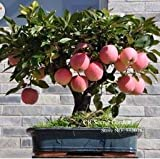 Trial product Bonsai Apple Tree Seeds 30 Pcs apple seeds (used wet sand sprouting)fruit bonsai garden in flower pots planters
