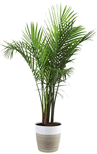 Costa Farms Majesty Palm