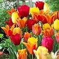 50 Spring Essentials Darwin Hybrid Tulip Mixture-- Nice, Fat Bulbs!