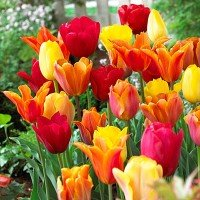 Spring Essentials Darwin Hybrid Tulip Mixture-- 20 Nice, Fat Bulbs! Value Pack!