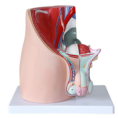 1:1 Life Size Family Planning Male Reproductive Urinary System Pelvic Model Male Pelvis Median Sagittal Slice Organ Model