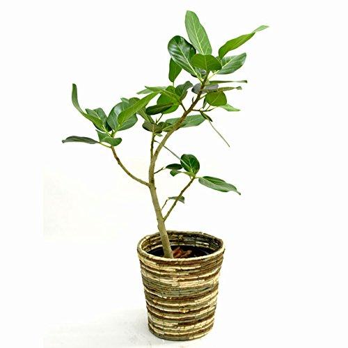 【装飾バークプレゼント】葉脈が美しいゴムの木 フィカス ベンガレンシス 中型8号 鉢カバー付き (鉢カバーB) B01IQR6IRW  鉢カバーB