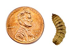 Josh's Frogs Black Soldier Fly Larvae (1000 Count - Large)