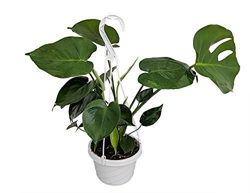 (Split Leaf Philodendron 6