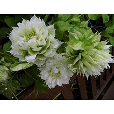 Clematis 'Duchess of Edinburgh'- Starter Plant - Cut Back - DORMANT : Garden & Outdoor
